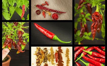 Odmiany papryki – łagodne i ostre