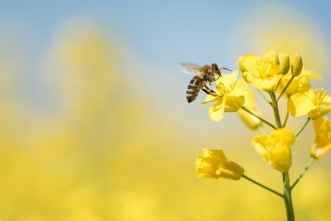 Jej Wysokość Pszczoła: 20 maja obchodzimy Światowy Dzień Pszczół